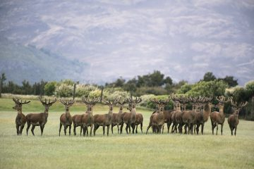 Northern Southland is known as the deer farming capital of the world