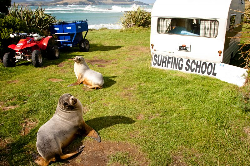 Sea lions at Curio Bay Surf School