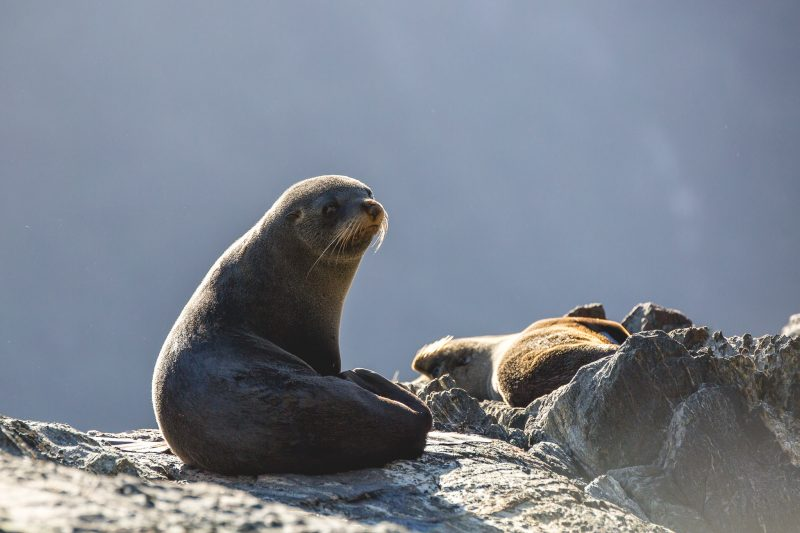 Real Journeys - Milford Sound seals