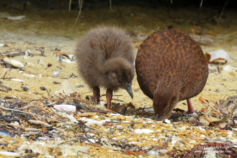 Weka with chick on the Ruggedy Range™ Ulva Island Guided Walk