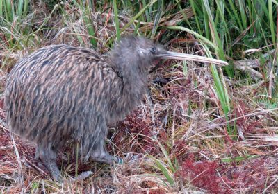 Stewart Island Kiwi with Ruggedy Range™